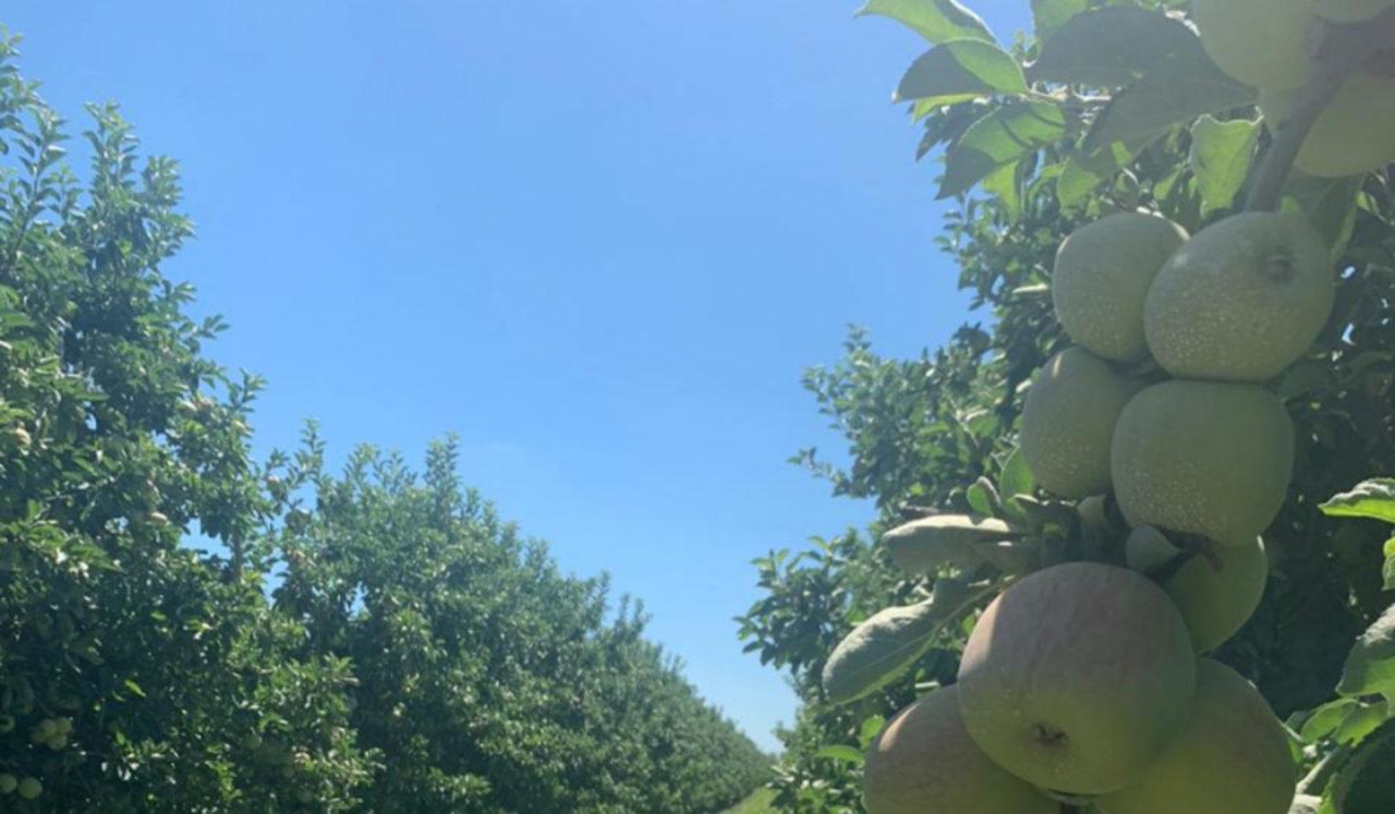 ограничение на импорт яблок в Россию
